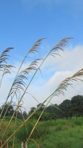 seagrass against a blue sky