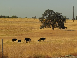 swimming hole, oaks, cows, million dollar homes 049
