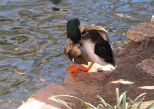 unaffected duck
