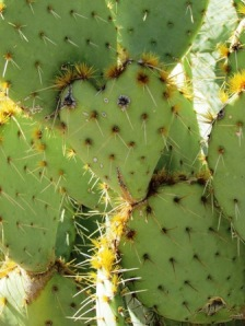 heart shaped prickly pear