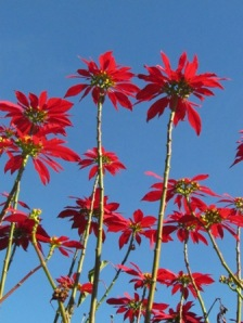 Then I saw these in someone's back yard. They look like poinsettas, or red sunflowers. Perfect!