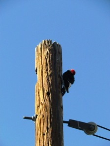 woodpecker on a pole