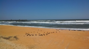 black birds on the beach